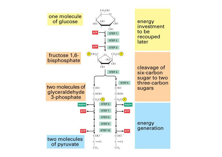 mr  bontront    s grade  chemistry wiki   group  respirationsteps of glycolysis