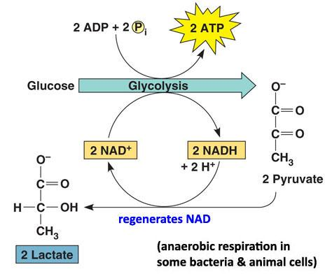 mr  bontront    s grade  chemistry wiki   group  respirationdiagram of glycolysis and lactic acid fermentation